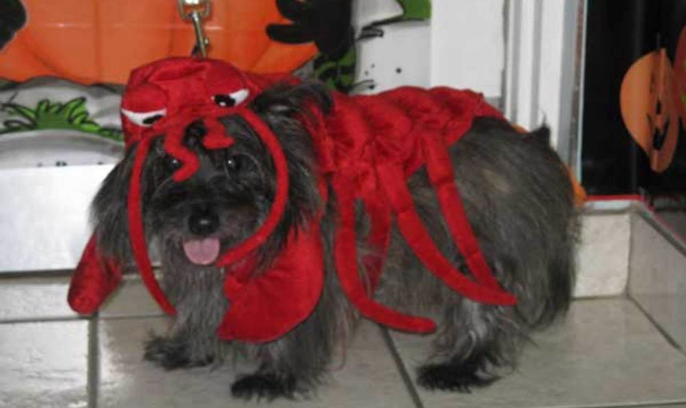 Dog Dressed Up As Lobster At Friendswood Animal Clinic In Friendswood