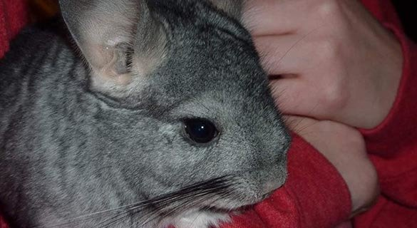 Fival, Chinchilla