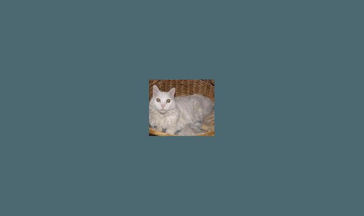 Pet cat at East Ventura Animal Hospital