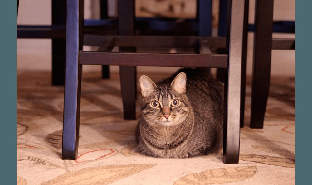 Huge Cat Under A Chair