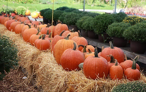 Pumpkins at Maplewood at Twinsburg in Twinsburg