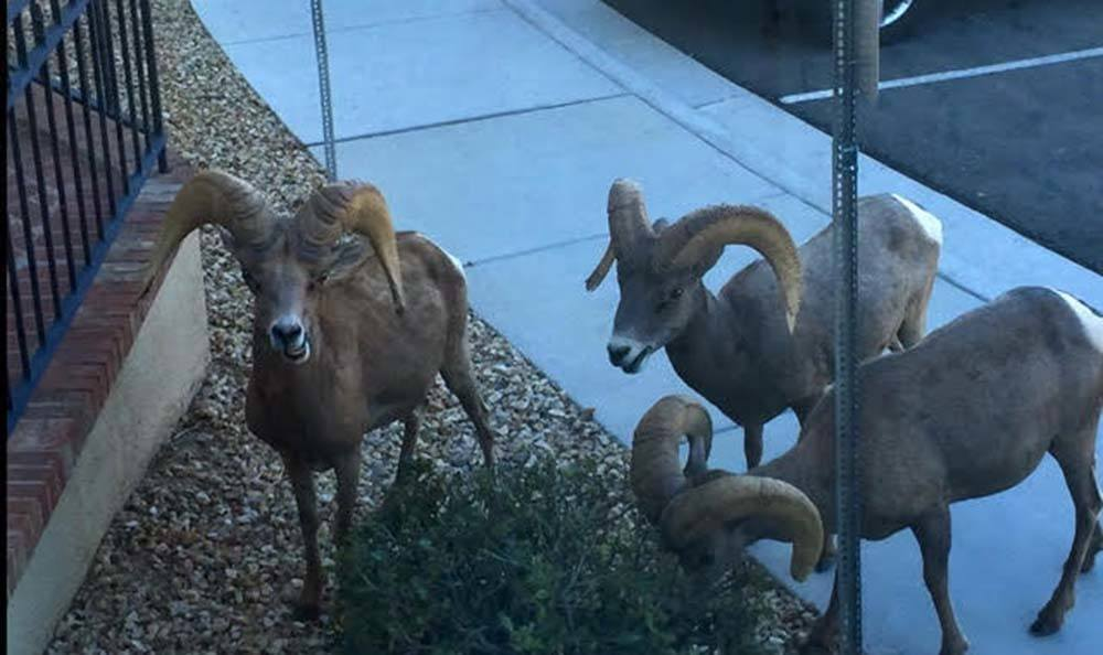 Longhorn sheep at Lakeview Terrace of Boulder City