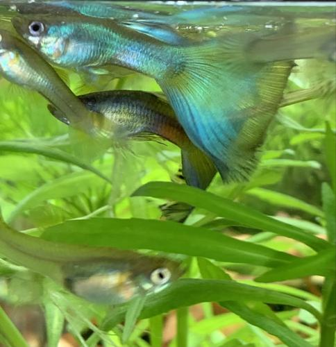 Unsexed Juvenile Blue Moscow Culls