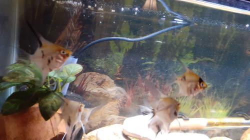 Koi Angelfish 3 pack
