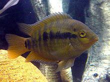 FEMALES ONLY: Rainbow Cichlids, Hobbyist bred