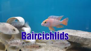 Baircichlids Store Logo