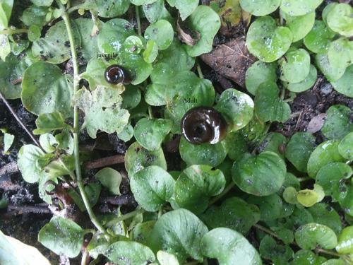 Ramshorn Snails 40+ live plant