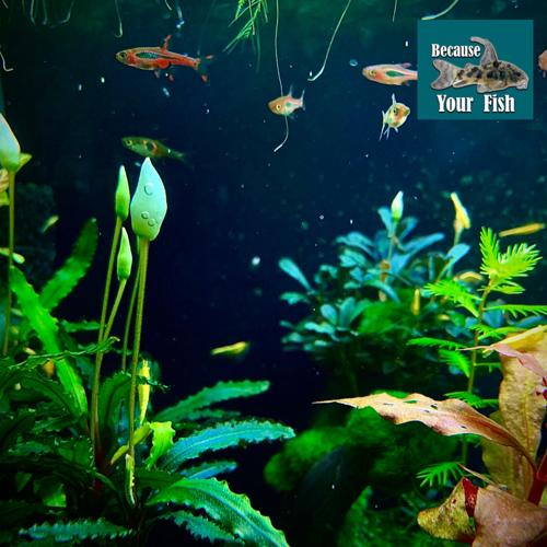 """Aquarium Plant """"Buce"""""""
