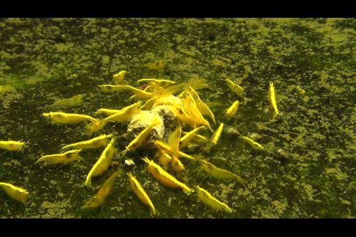 "5 Yellow Fire Shrimp 0.5""Tank Breed by bioAquatiX"