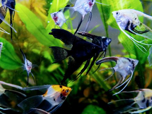 12 Mixed Color Angelfish