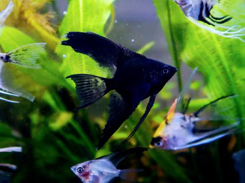 25 Mixed Color Angelfish