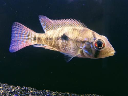 Geophagus Braziliensis UNSEXED Tank breed South American Cichlids