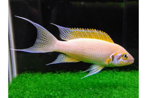 Neolamprologus Daffodil UNSEXED Tank breed African Cichlds