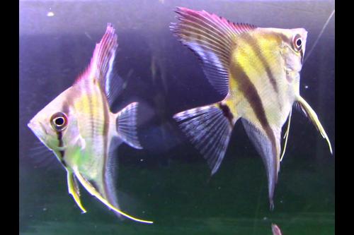 Silver Angelfish Short Fin Tank Breed by bioAquatiX