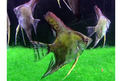 Smokey Angelfish Short Fin Tank Breed by bioAquatiX