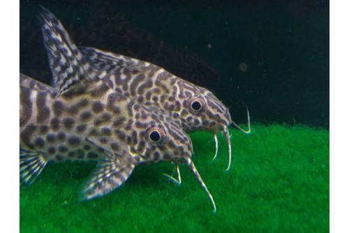 Synodontis Eupterus Tank breed catfish