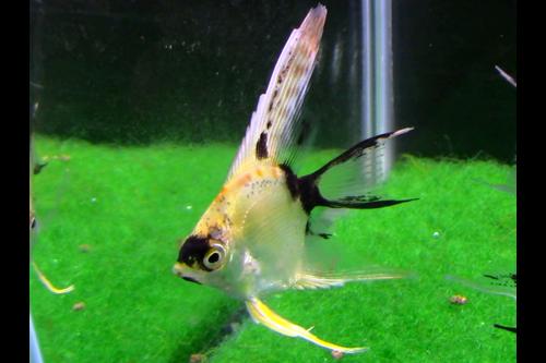 Gold Marble Angelfish Long Fin Tank breed Angelfish
