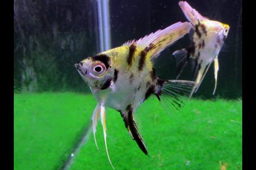 Gold Marble Angelfish Short Fin Tank breed Angelfish