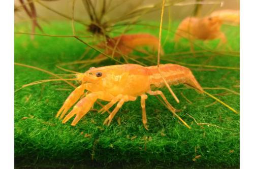 "Dwarf Mexican Crayfish 1""-1.25""Tank Breed by bioAquatiX"