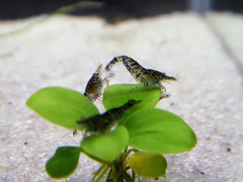 "5 Tiger Shrimp 0.5"""