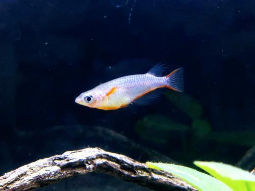 "2 Daisy's Blue Ricefish (1Male+1Female) 0.75""-1"""