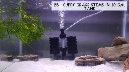 25+ Guppy Grass Stems *USA Home Grown*