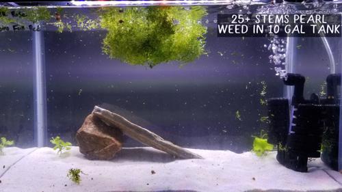 25+ Pearl Weed Stems *USA Home Grown*
