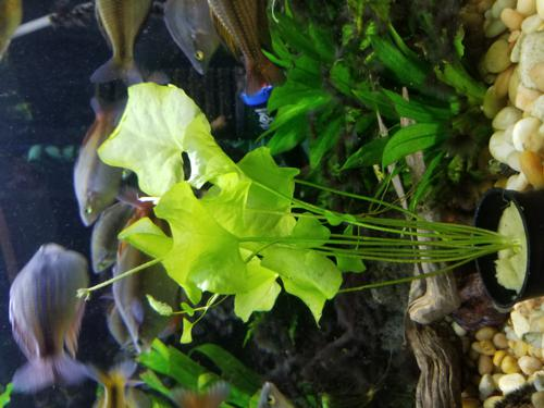 3 Bundle Pack Of Taiwan Lily Nymphoides hydrophylla 'Taiwan'