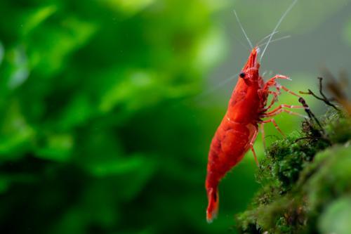 (5) Fire Red Shrimp