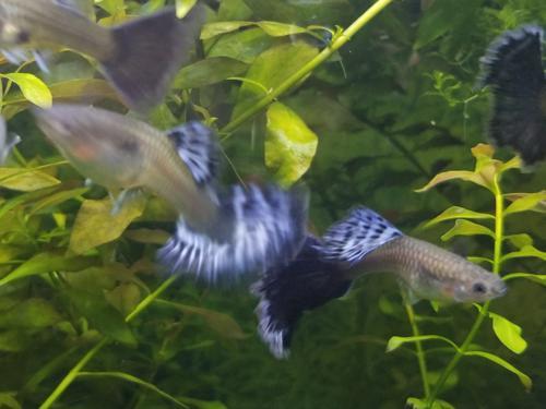 Female Blue Dragon Guppies ~Two~