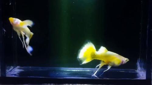 Full Gold Guppies -Pair-