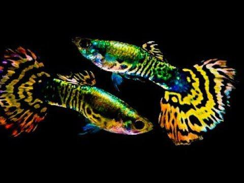 Yellow Tiger Half Moon Guppies -Pair-