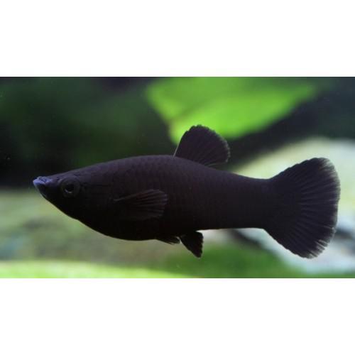 Beautiful Black Mollies