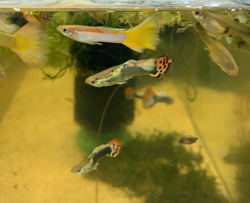 Beautiful Mutt Guppies (5 Pack Males Only)