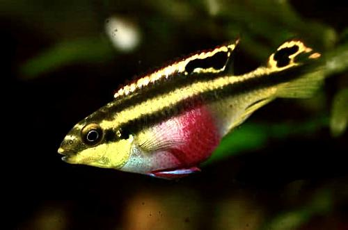 """Breeding Pair Kribensis about 1.5"""" to 3"""", male / female free shipping"""