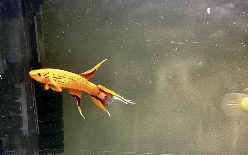 """3 females, Aphyosemion  australe,, """"gold,"""" ( Orang )  4+ months old free shipping"""