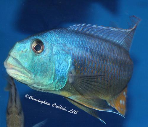 "Aristochromis christyi @ 1"""