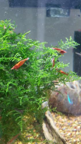 25 Red Cherry Shrimp (Neocaridina davidi) and Java moss