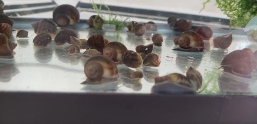 5 Quarter sized Chestnut colored Mystery Snails