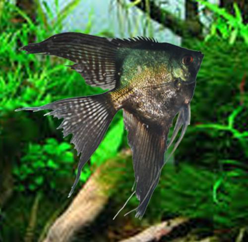 6 Pinoy Angelfish medium quarter size