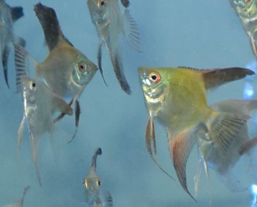 Bulgarian Seal Point Angelfish (Pack of 8) small
