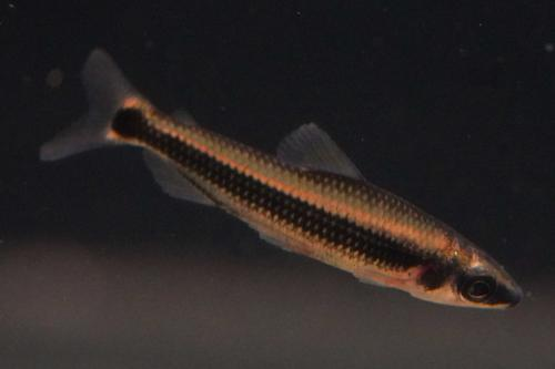 African Pencilfish