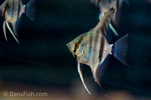 "Angelfish ""Rio Nanay"""