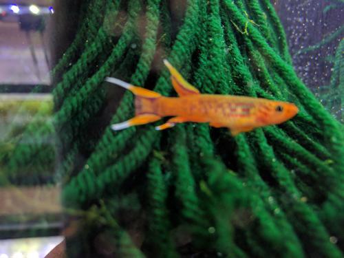 Aphyosemion australe Orange - Pair