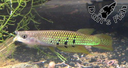 Aplocheilus dayi PAIR