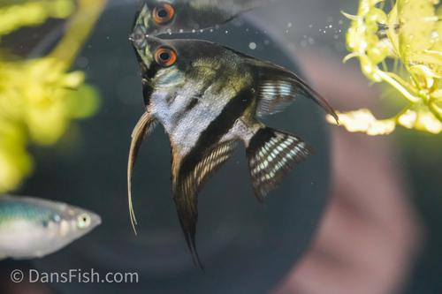 Black Zebra Avatar Angelfish