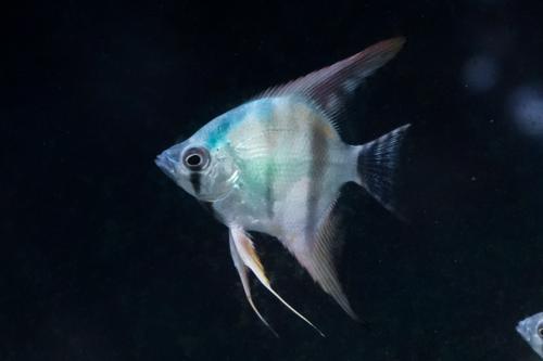 Blue Avatar Angelfish