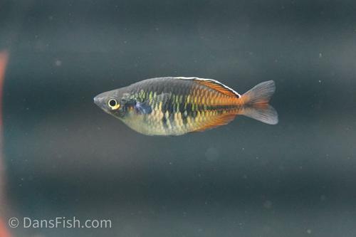 Boesemani Rainbowfish Aquarium Strain