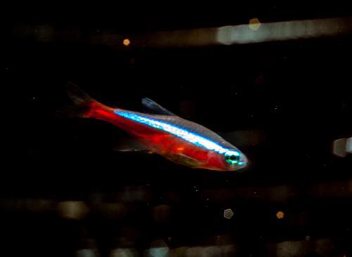 Cardinal Tetra - Aquarium Raised