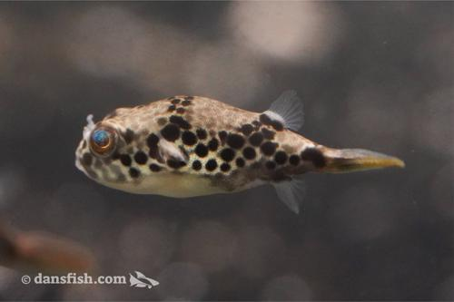 Congo Spotted Puffer